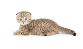 Striped Scottish kitten fold lying isolated Stock Image