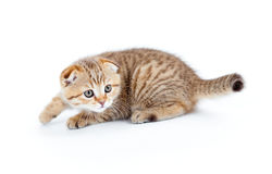 Striped Scottish kitten fold  stalking isolated. Striped Scottish kitten fold pure breed stalking isolated Royalty Free Stock Photos