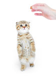 Striped Scottish kitten fold standing isolated Royalty Free Stock Photo