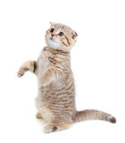 Striped Scottish kitten fold standing isolated. Striped Scottish kitten fold pure breed standing isolated royalty free stock photography