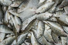 Striped Seabream Fish. Striped Seabream fisk on ice for sale at a market Royalty Free Stock Image