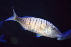 Striped seabream Royalty Free Stock Images