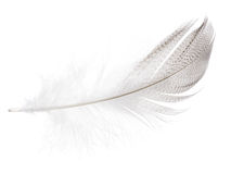 Striped seagull feather on white Royalty Free Stock Image