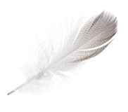 Striped seagull straight feather isolated on white Stock Images