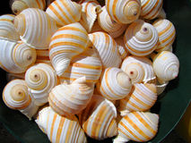 Striped seashells Stock Photos