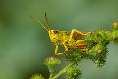 Striped Sedge Grasshopper - Stethophyma lineatum Stock Photography