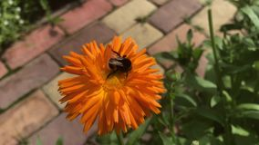 Striped shaggy big bumblebee on the orange flower of calendula stock video