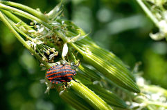 Striped shield bug on flowering plant Royalty Free Stock Photos