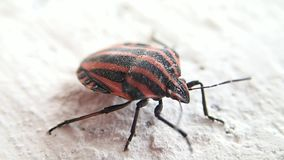 Striped shield bug. A striped shield bug moving a little stock footage