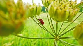 Striped shield bug on umbel of hogweed Royalty Free Stock Photos