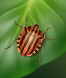 Striped shield bug Stock Image
