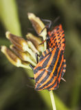 Striped shield bugs (Graphosoma lineatum) Stock Images