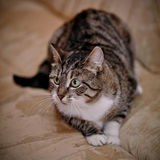 Striped shorthair cat with green eyes. Stock Photos