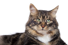 Striped siberian cat Royalty Free Stock Photo