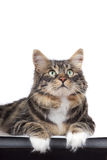 Striped siberian cat. Striped cat on a white background. Isolated royalty free stock images