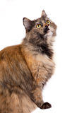 Striped siberian cat isolated. On white background Stock Image