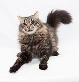 Striped siberian cat jumping, playing Stock Photo