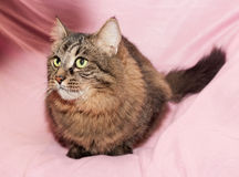 Striped siberian cat lies on pink Royalty Free Stock Images