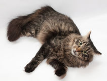 Striped Siberian cat is looking askance Stock Images