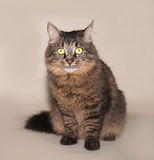 Striped siberian cat sits on yellow Royalty Free Stock Image