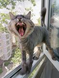 A striped Siberian cat trimmed or shaved for the summer is screaming or yawning while standing in a window stock photography