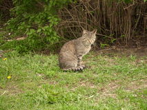 Striped sitting cat. The striped cat sits in a grass near a bush royalty free stock photography