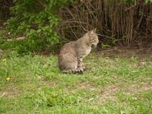 Striped sitting cat. The striped cat sits in a grass near a bush, kind in a profile royalty free stock images