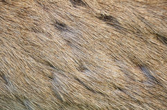 Striped skin a Deer. (brow-antlered) in the background Royalty Free Stock Photos