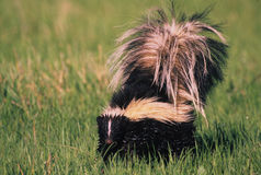 Striped Skunk. A striped skunk standing in green grass Stock Photos