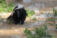 Striped skunk. The adult striped skunk on the soil Stock Photo