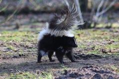 Striped skunk alert Stock Photo