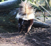 Striped skunk alert. Striped skunk in the habitat in enclosure. Foto taken in aqua zoo Friesland in Leeuwarden Royalty Free Stock Photos