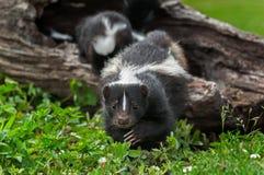 Striped Skunk Doe Mephitis mephitis Creeps Forward Stock Images