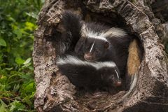 Striped Skunk Doe Mephitis mephitis and Kit in Log Stock Images