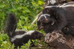 Striped Skunk Doe Mephitis mephitis Moves Her Kits Royalty Free Stock Photo