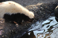 Striped skunk drinking. Water out of river. Foto taken in aqua zoo Friesland in Leeuwarden Royalty Free Stock Photos
