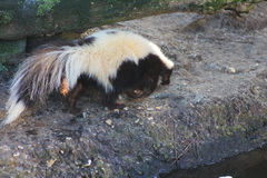 Striped skunk. In the habitat in enclosure. Foto taken in aqua zoo Friesland in Leeuwarden Stock Photography