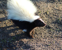 Striped skunk. In the habitat in enclosure. Foto taken in aqua zoo Friesland in Leeuwarden Stock Photos