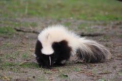 Striped skunk. In the habitat in enclosure. Foto taken in aqua zoo Friesland in Leeuwarden Royalty Free Stock Images