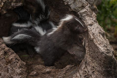 Striped Skunk Kit Mephitis mephitis Peeks Out of Log Royalty Free Stock Photo