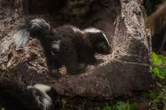 Striped Skunk Kit Mephitis mephitis Stands on Log Stock Image