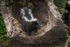 Striped Skunk Kit Mephitis mephitis Stands in Log Looking at A Stock Images