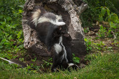 Striped Skunk Kits Doe Mephitis mephitis Drags Kit Into Log Stock Photos
