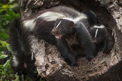 Striped Skunk Kits Doe Mephitis mephitis Mouth Open in Log wit Stock Images
