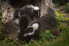 Striped Skunk Kits Mephitis mephitis Stock Photography