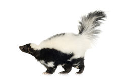 striped skunk mephitis Стоковые Фотографии RF