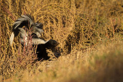 Striped Skunk, Mephitis mephitis Royalty Free Stock Photo