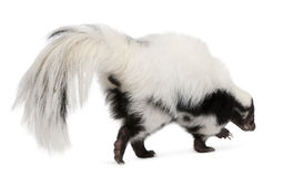 Striped Skunk, Mephitis Mephitis, 5 years old Stock Photo