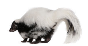 Striped Skunk, Mephitis Mephitis, 5 years old Stock Photos