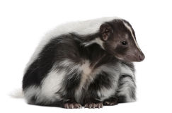 Striped Skunk, Mephitis Mephitis, 5 years old Stock Photography